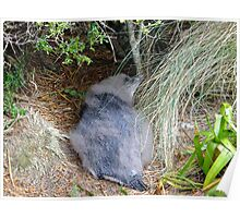 Moulting Yellow Eye penguin Poster