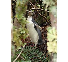 Yellow Eye Penguin Photographic Print