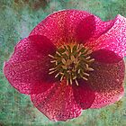 Illuminated Hellebore  by hootonles