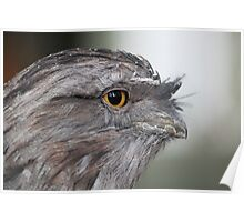 Tawny Frogmouth - Featherdale  Poster