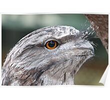 Tawny Frogmouth - 2 Poster