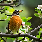 Birds - American Robin - Nature's Alarm Clock by Christina Rollo