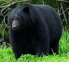 Black Bear, by AnnDixon