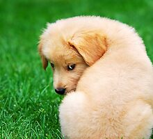 Puppy Love Golden Retriever by Christina Rollo