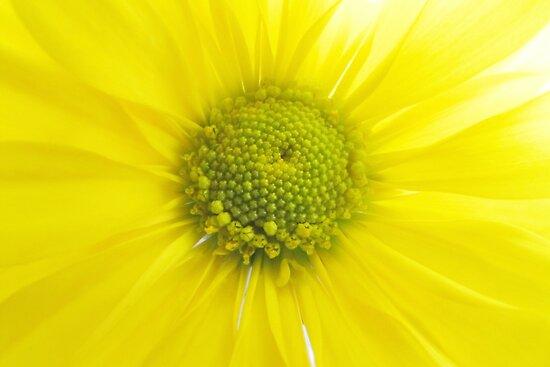 Dreamy Yellow Daisy by hummingbirds