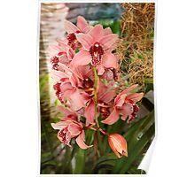 Orchid - Cymbidium - Vivien hainsworth x trinket Poster