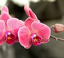 Orchid - It takes two to tango by Mike  Savad