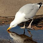Gull's reflection by henuly1