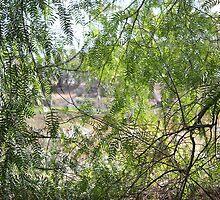 Peppercorn Trees Coolgardie  by vivaciousdesign