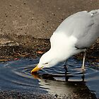 Thirsty Gull by henuly1