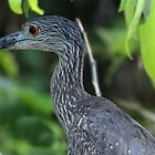 Yellow-Crowned Night Heron Closeup by hummingbirds