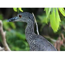Yellow-Crowned Night Heron Closeup Photographic Print
