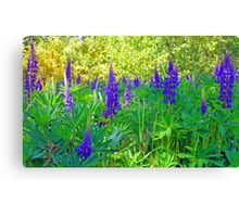Blue Lupin in the Springtime Canvas Print