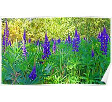 Blue Lupin in the Springtime Poster