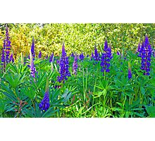 Blue Lupin in the Springtime Photographic Print