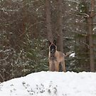 Belgian Shepherd Malinois by Markku Vitikainen