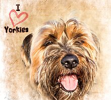 Sam the Yorkie by Amar-Images