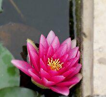 Pink water flower by Orel