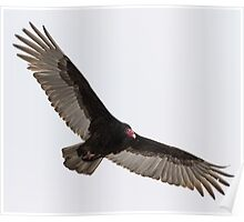 Turkey Vulture In Flight Poster