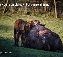Old Cow on Mother's Day by Tobias King