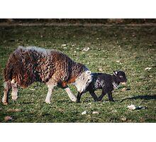 Shepherding Nudge Photographic Print