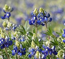 Field of Texas Bluebonnets by Penny Odom