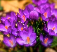Art Of the Crocus 8 by NatureGreeting Cards ©ccwri