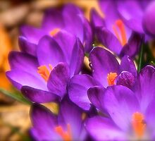 Art Of the Crocus 7 by NatureGreeting Cards ©ccwri