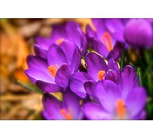 Art Of the Crocus 7 Photographic Print