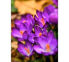 Art Of the Crocus 6 Photographic Print