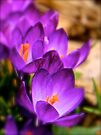 Art Of the Crocus 5 by NatureGreeting Cards ©ccwri