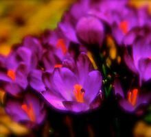 Art Of the Crocus 1 by NatureGreeting Cards ©ccwri