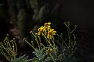 Evening Light on the Brittlebush  by Lucinda Walter
