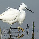 Little Egret on the Prowl by Mark Hughes