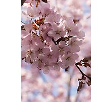 Pink Spring - Gently Pink Cherry Blossoms Photographic Print
