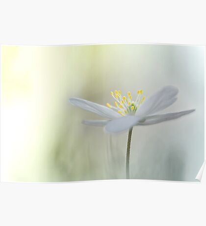 Irresistible Wood Anemone.... Poster