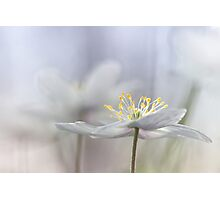 Addictive wood anemone.. Photographic Print