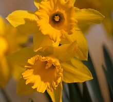 Daffodils by cameraimagery