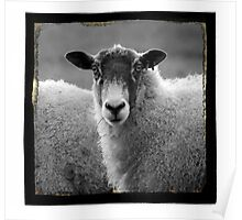 Early Evening Sheep  Poster
