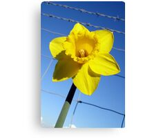 The Captive Daffodil Canvas Print