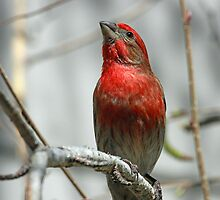 A Colorful House Finch by jozi1