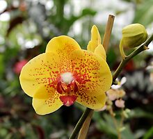 Orchid by Kelly Morris