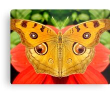 Meadow Argus Butterfly Metal Print