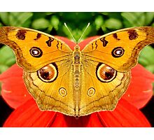 Meadow Argus Butterfly Photographic Print