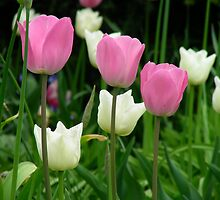 Pink and white tulips by Ebony Hack