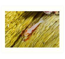 Emperor Shrimp Art Print