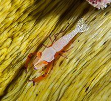Emperor Shrimp by Mark Rosenstein