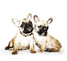 French Bulldogs Photographic Print