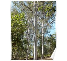 Large Gum Tree with Sleeping Koala Poster