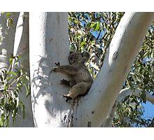 Koala Sleeping in a Tall Gum Tree Photographic Print